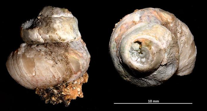 Gibbula divaricata f. strangulata, Sant'Agostino (Civitavecchia, RM)