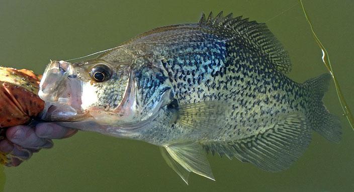 Crappie caught on fly at Lake Sutherland near Ramona California