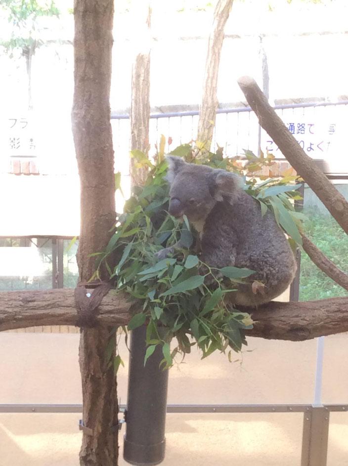 京都市動物園 コアラ