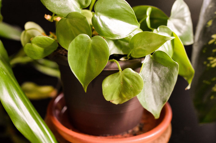 Einfach zu pflegende Zimmerpflanze: Efeutute. RiekesBlog