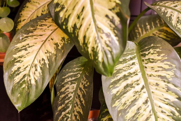 Einfach zu pflegende Zimmerpflanze: Dieffenbachie. RiekesBlog
