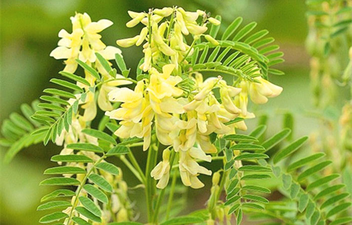Astragalus membranaceus, Huang Qi