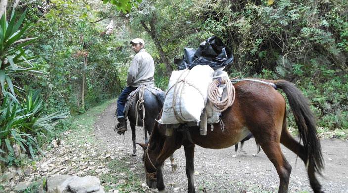 Transport von Zementsäcken mit Pferd und Muli zur Baustelle