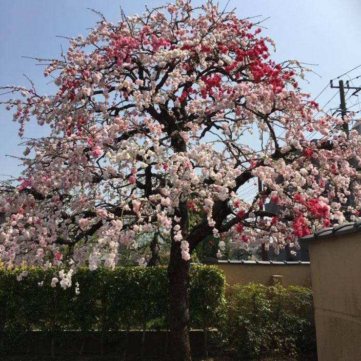 弥生三月01-本法寺-東京都文京区のお墓 永代供養墓 法要-