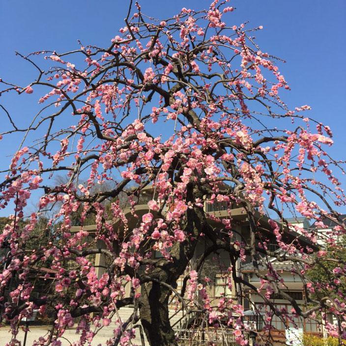 春一番 続き01-本法寺-東京都文京区のお墓 永代供養墓 法要-