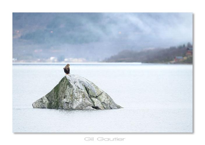 """"""" Le roi du rocher """" ( Aigle pêcheur - Pygargue à queue blanche )"""