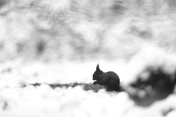 écureuil sous la neige