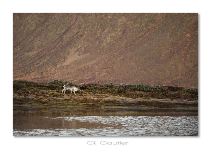 Peu de rennes croisés sur les Vesterålen cette semaine ( Un de ce matin , à notre départ )