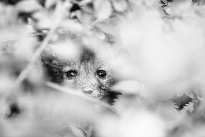 Bébé Renard roux (Vulpes vulpes)