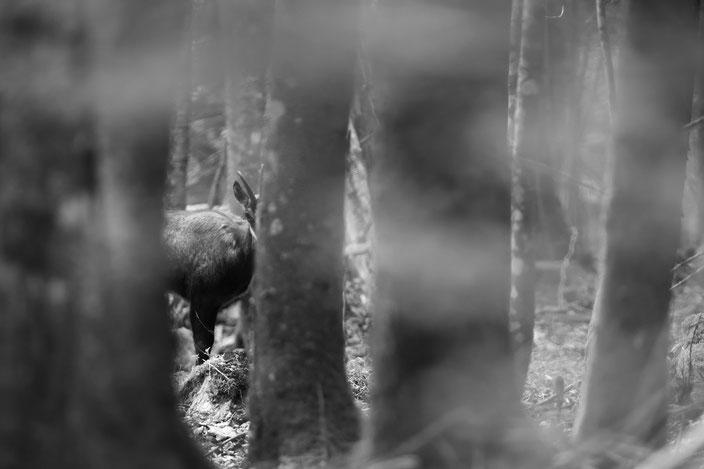chamois des forêts