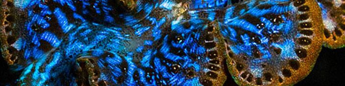 Muschel Tridacna Maxima Giant Clam
