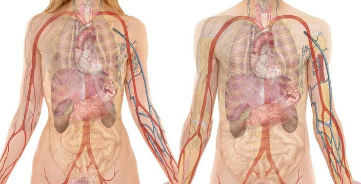 Anatomie Gewicht Körper