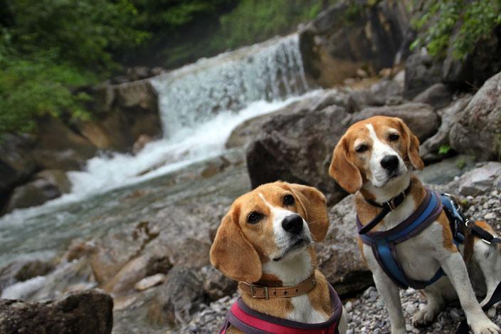 2 Beaglehunde in der Wolfsklamm