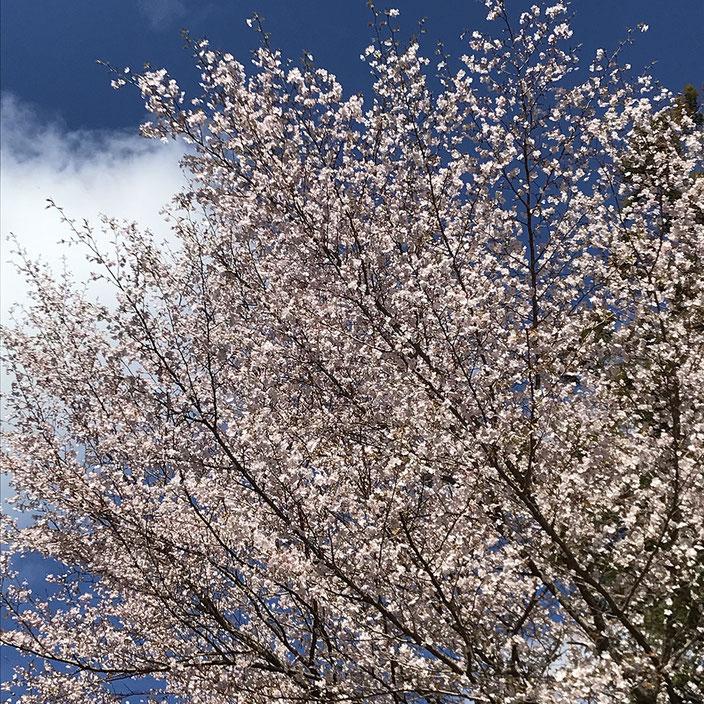 妙法山の山桜(ヤマザクラ)