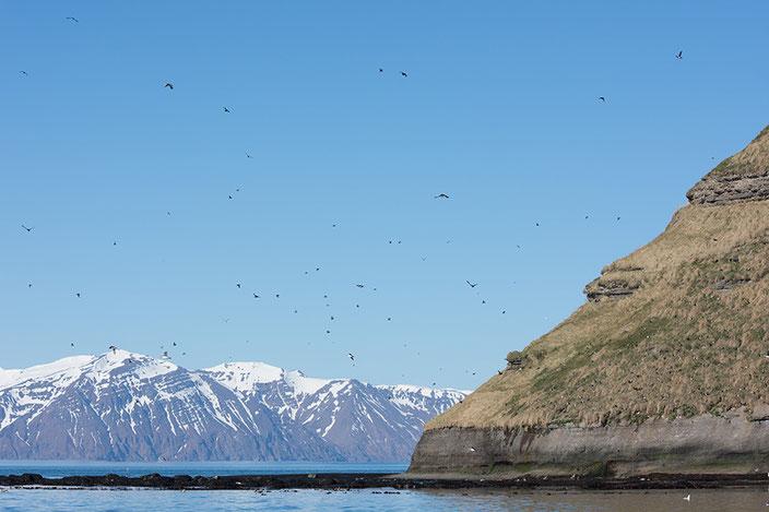 Tausende Papageientaucher tummeln sich in der Skjálfandi Bucht
