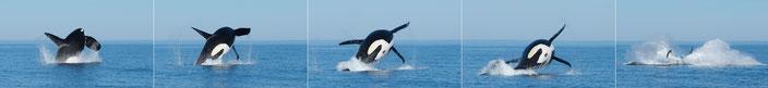 Orcas in der Skjálfandi Bucht