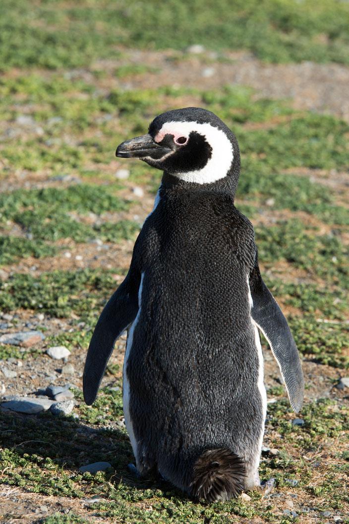Erst beim ganz genauem Hinsehen, erkennt man das Federkleid der Pinguine.