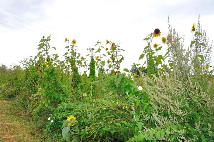 alternative Energiepflanzen