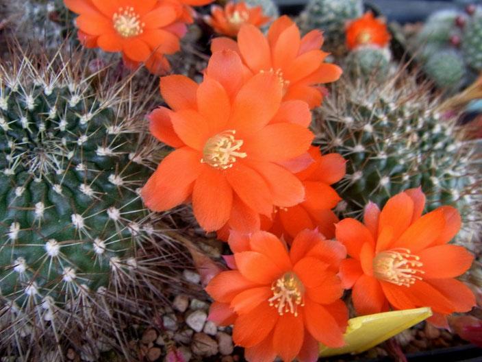 Rebutia spiniflora