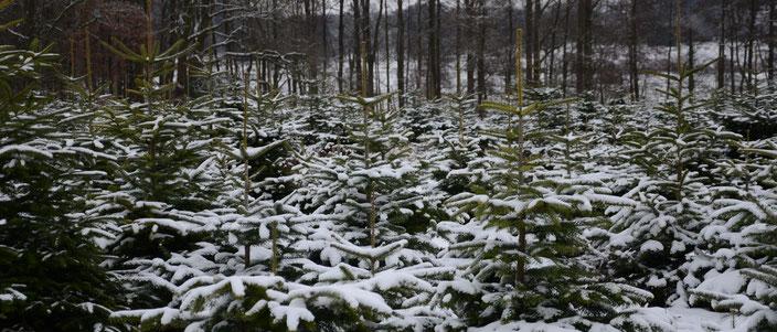Verschneite Tannenbäume im Winter für Tannenbaumverkauf und WEihnachtsbaumverkauf