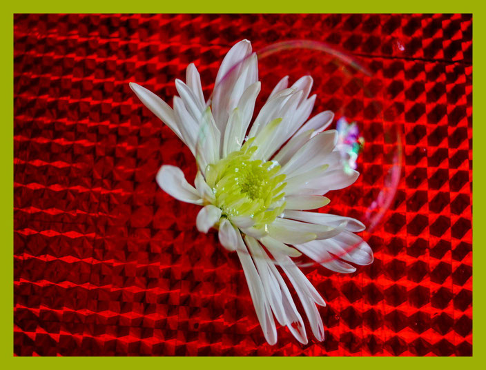 Seifenblasen-Blume: Neue Züchtung  :-)