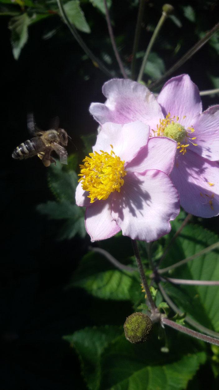 Bei einem Besuch von Freunden haben wir im Garten eine Biene auf dem Weg zu einer Blume entdeckt. Es war ein toller Schnappschuss :-)