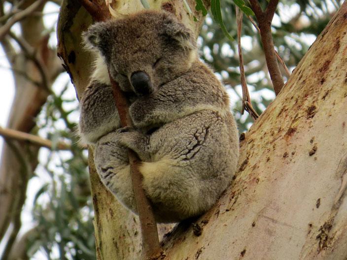 grenzenlosunterwegs Koala Australien Camper