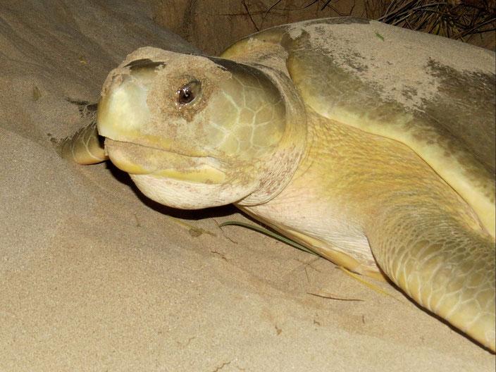grenzenlosunterwegs Australien Schildkröten