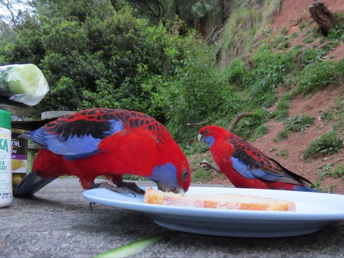 grenzenlos unterwegs Australien Papageien