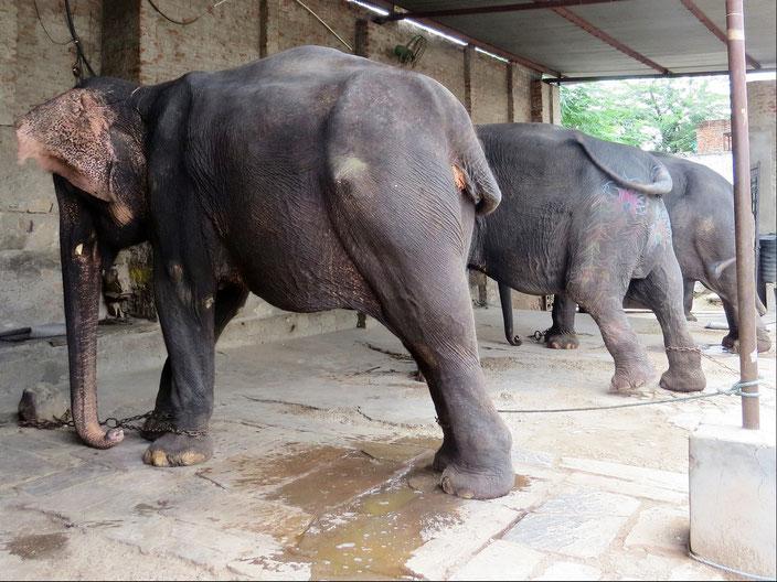 Jaipur Elefant Indien grenzenlosunterwegs