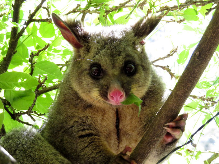 Australien Opossum grenzenlosunterwegs
