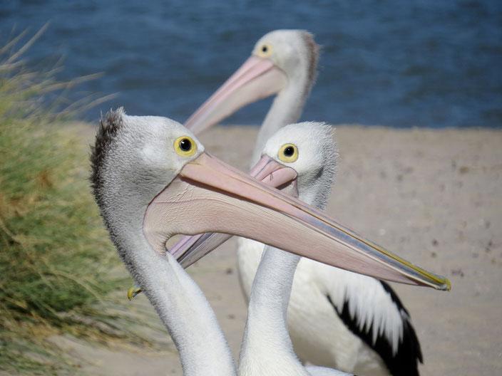 grenzenlosunterwegs Australien Pelikan