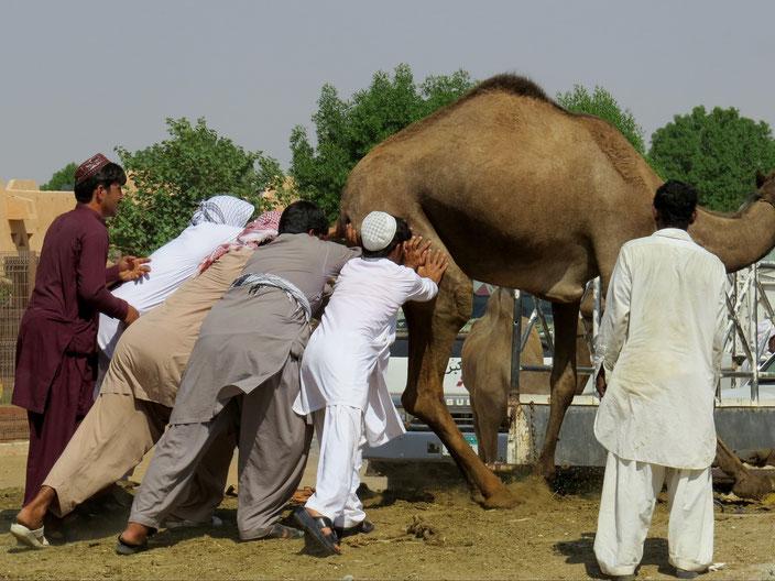 Al Ain Kamelmarkt grenzenlosunterwegs