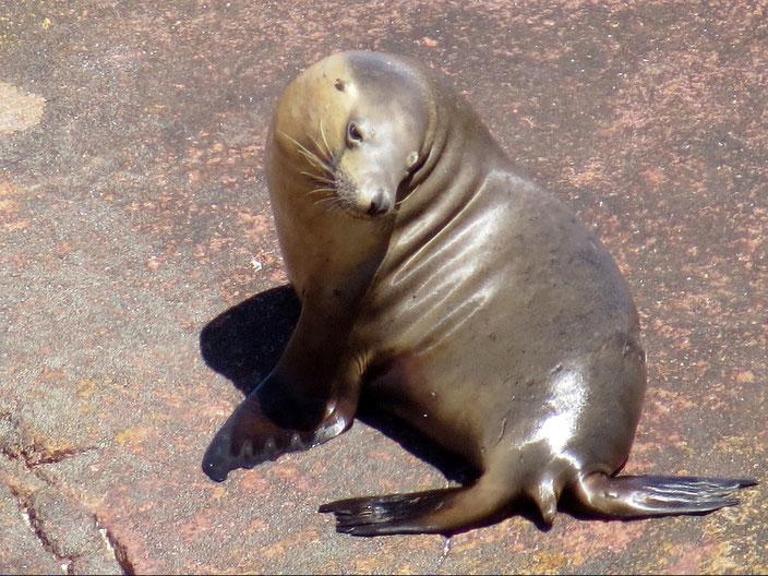 grenzenlosunterwegs Seelöwe Australien