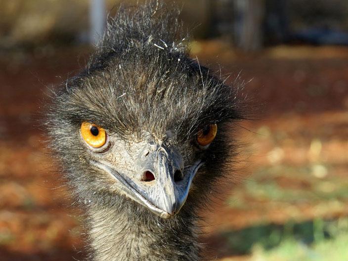 Emu grenzenlosunterwegs Australien