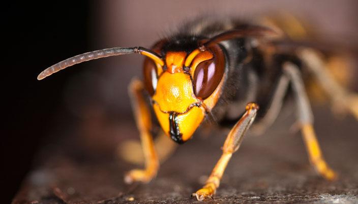 Die Asiatische Hornisse hat kürzlich die Schweizer Grenze überquert. Sie ist eine Gefahr für die Honigbiene.