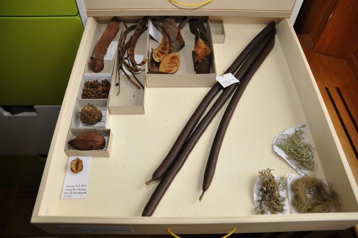 Eine Schublade unserer Sammlung. Thema hier: Pflanzensamen (und noch ein paar Flechten, die sich hierher verirrt haben.