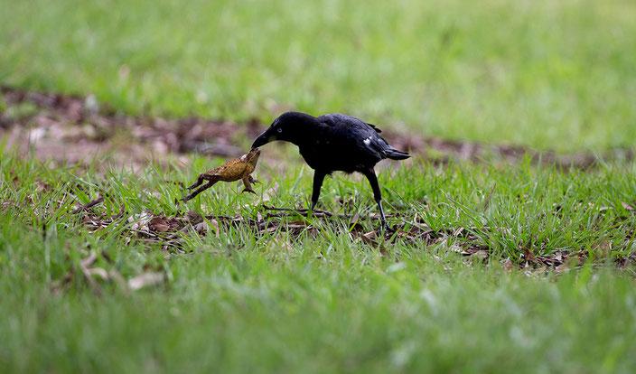 Australische Krähen haben herausgefunden, wie sie die giftigen Aga-Kröten fressen können.