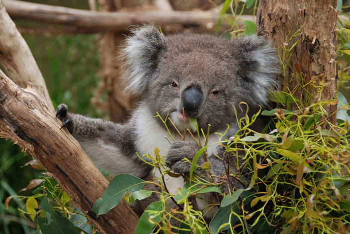 Koalas have adapted to the poisonous oils contained within eucalyptus leaves.