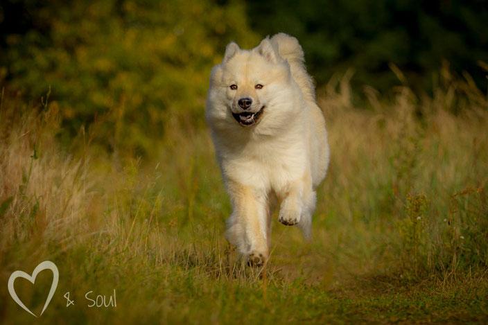 Eurasier vom Bärenstern Basilea vom Schmetterlingsgarten rennt September 2014