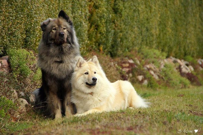 Eurasier vom Bärenstern Teddybär, Basilea vom Schmetterlingsgarten