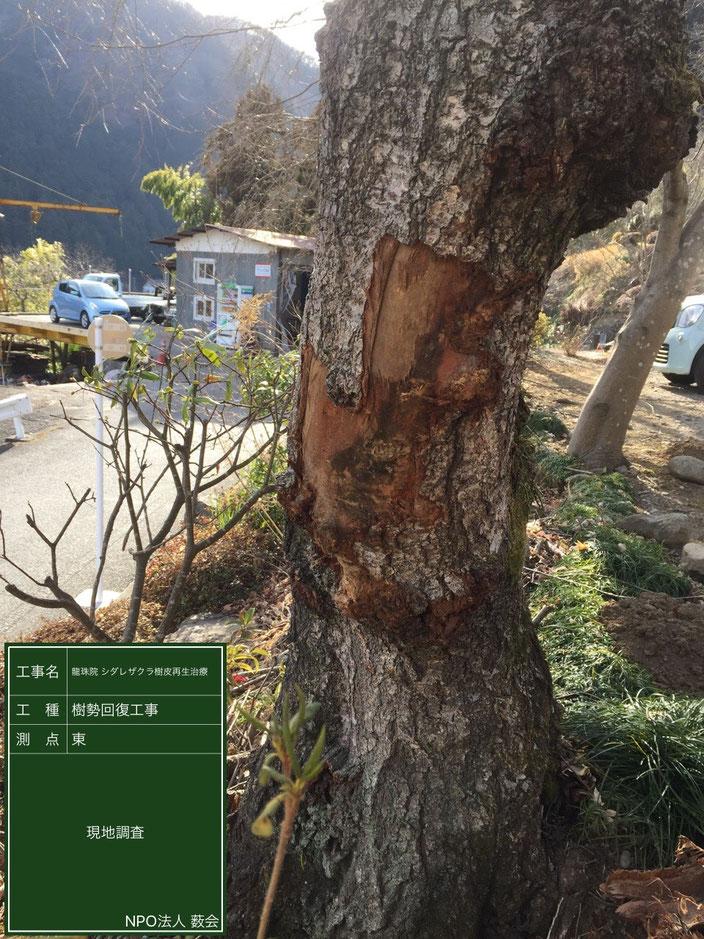 シダレザクラ樹皮損傷部