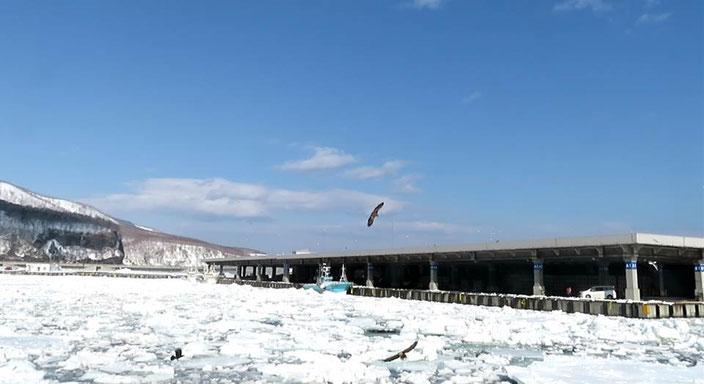 羅臼漁港に閉じ込められた流氷。ここでワシたちが餌付けされている。