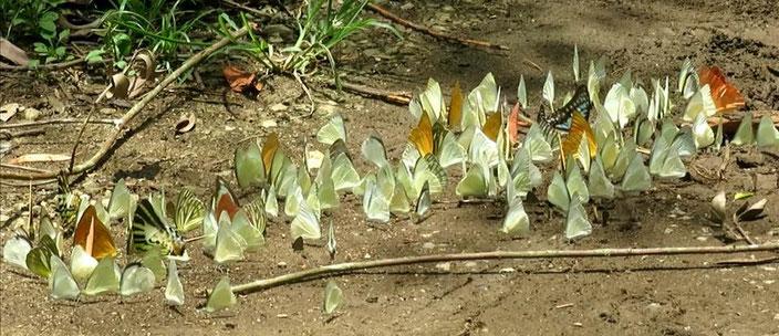 シロチョウの吸水集団。