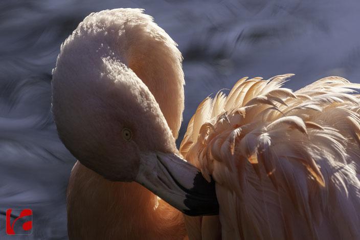 Chile-Flamingos leben auch in kalten Lebensräumen der Anden. Das rote Federkleid entsteht durch Umwandlung verschiedener Farbstoffe aus der Nahrung in der Leber. Die entstehenden roten Farbpigmente (beta carotine) werden in den Federn abgelagert.