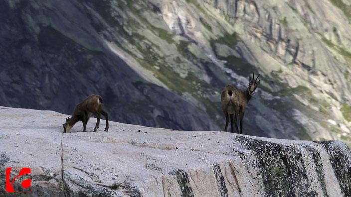 Lebensraum Alpen, Berner Oberland, Lauteraargletscher, Gemsen, Hochgebirge,