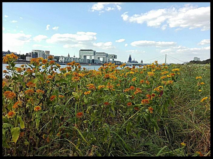 Blumenwiese auf den Poller Wiesen