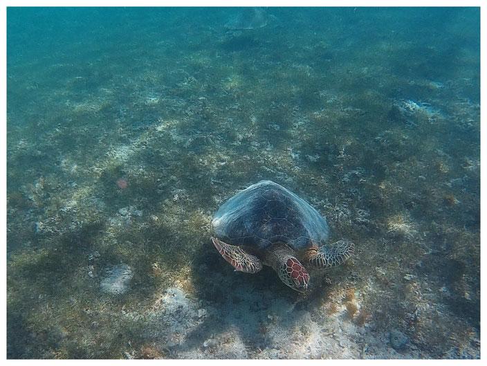 Wasserschildkröten Mauritius Katamarantour