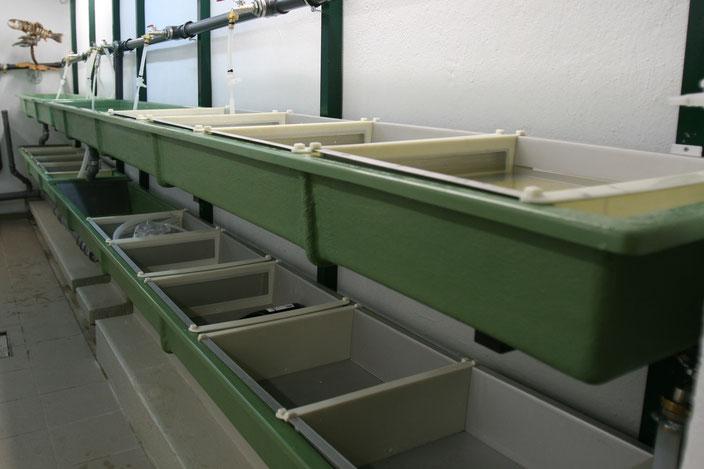 Im eigenen Bruthaus wird naturnahes Besatzmaterial nachgezüchtet und in Fließwasserstrecken vorgestreckt (siehe auch Bruthaus und aus-in-für die Alm).