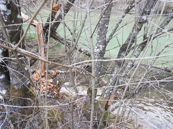 Biber sorgen für ausreichend Totholz
